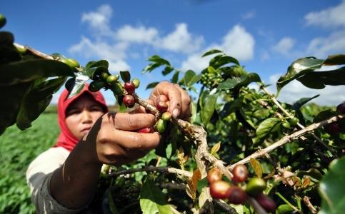 Kopi Arabika Sumatera Koerintji Akan Dijadikan Agrowisata Daerah