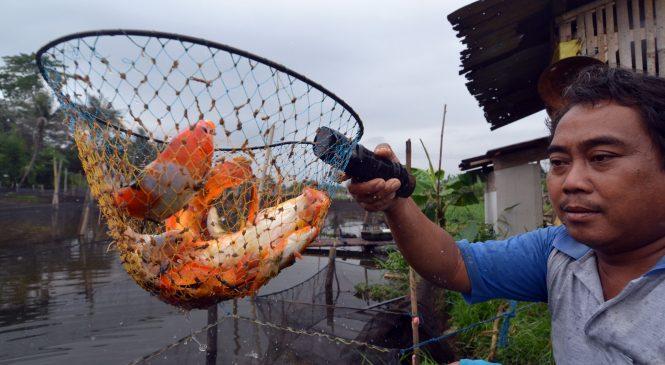 Ikan Hias Parung Panen Ratusan Ton