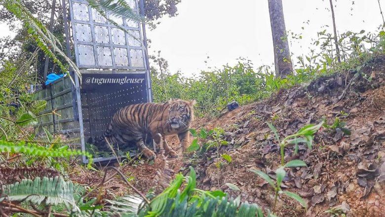 """Selamat dari Jerat, Harimau Sumatera """"Danau Putra"""" Kembali ke Habitat Alaminya"""