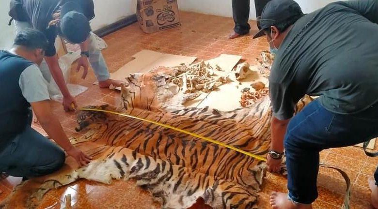KLHK: Berkas Penyidikan Kasus Harimau di Aceh Lengkap, Siap Disidangkan