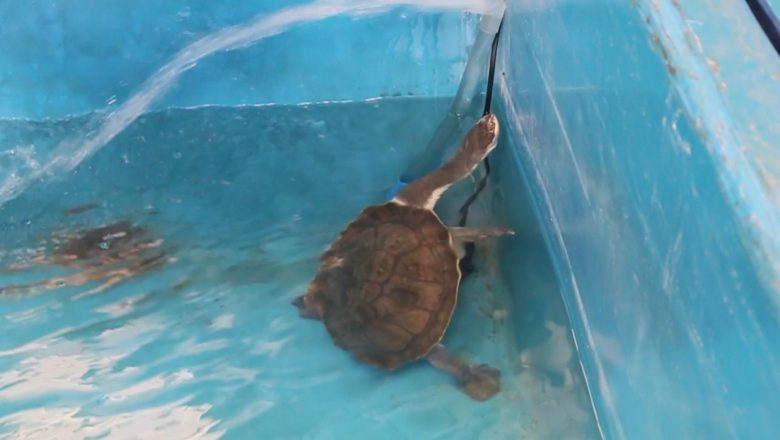 KLHK Berhasil Repatriasi 13 Kura-Kura Rote dari Singapura